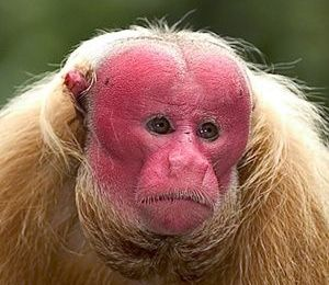 20 Things You Didn't Know About Bald Monkeys (Bald Uakari)
