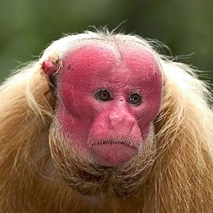 Things You Didn't Know About Bald Monkeys (Bald Uakari)