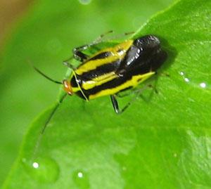 pepperbug