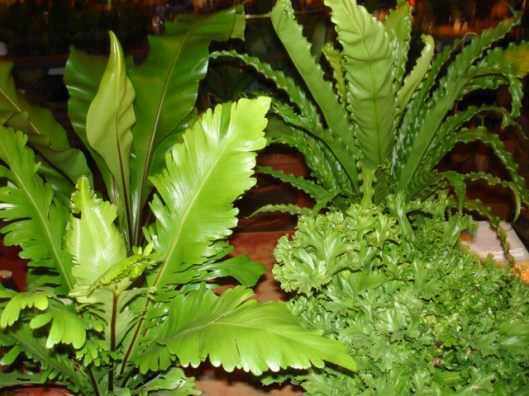 bird s nest ferns we have several crinkled and cut varieties as well