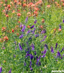 wildflowers in TX