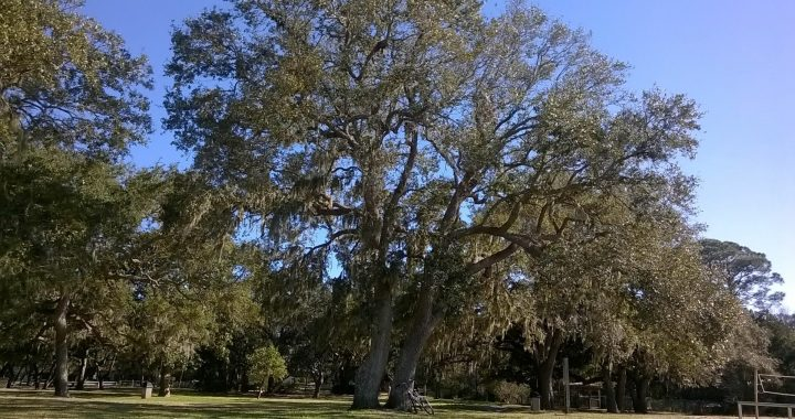 Southern Live Oak Tree-Fort Walton Beach Florida-06