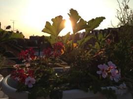 an edible window box at dawn. Courgette, gherkins, pelargonium and lavender salute the sun.
