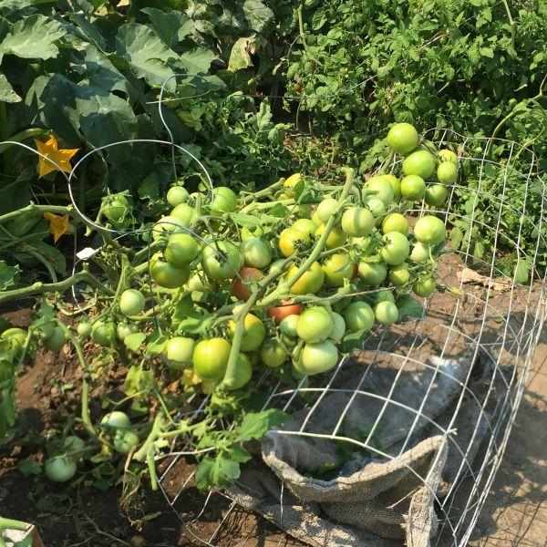harvest tomato