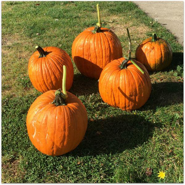 wine pumpkins 2