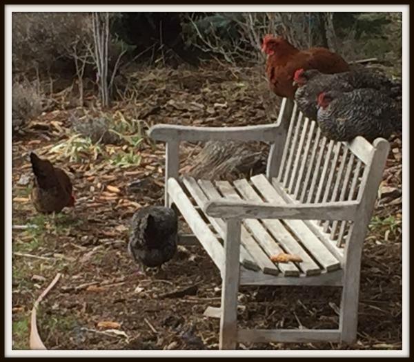 bench hens