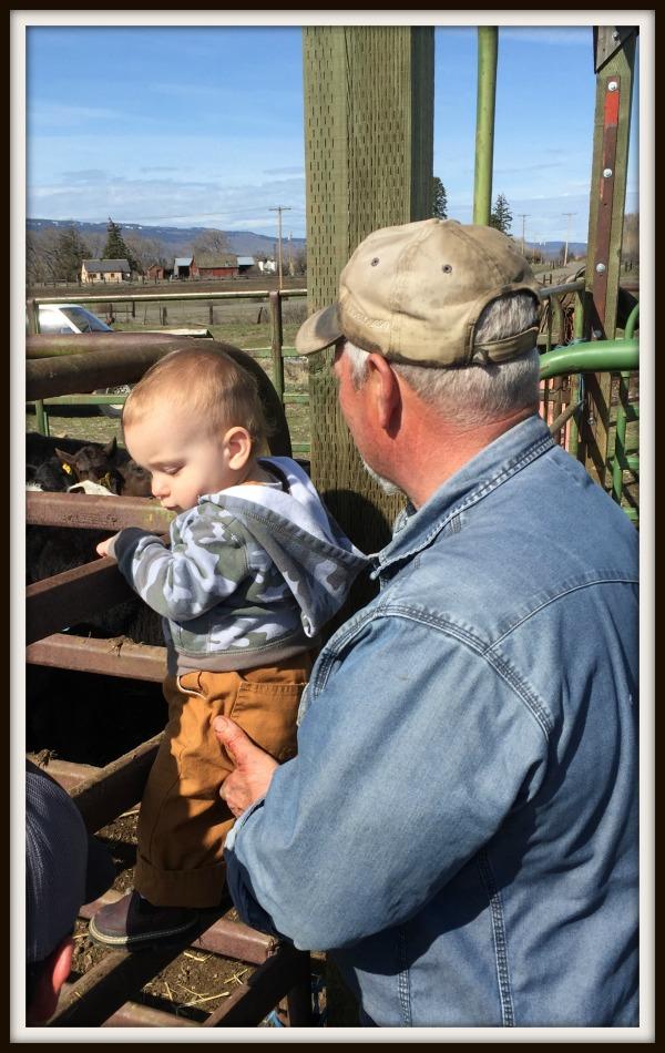 working cattle grandpa