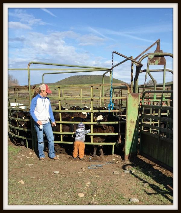 working cattle jake