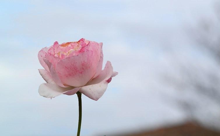 Rose zum Frauentag