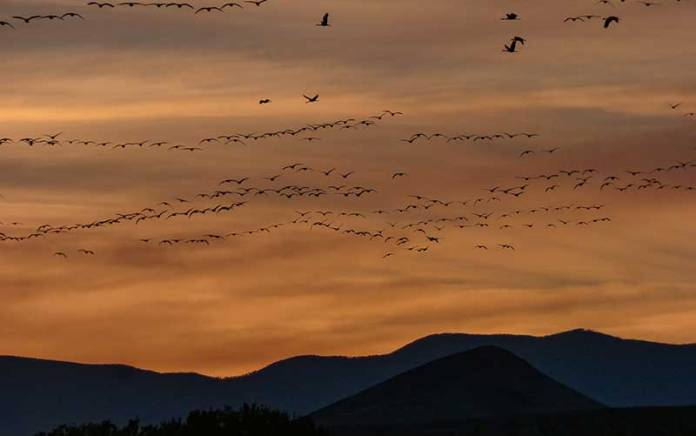 Bosque del Apache geese flying in
