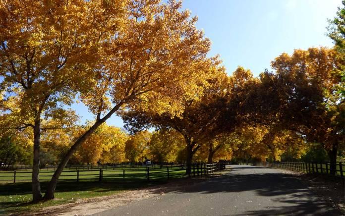 Autumn cottonwoods in Corrales