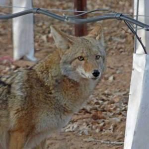 Coyote in Corrales