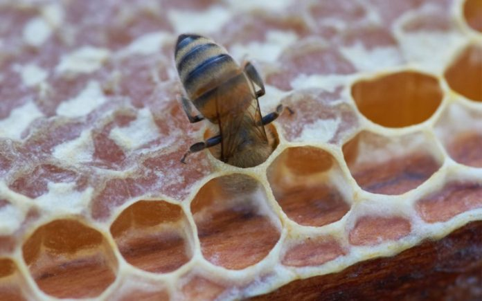 taos honey bee