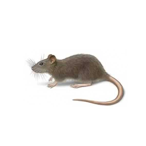 Norway Rat Identification | Information & Control | New Mexico ...