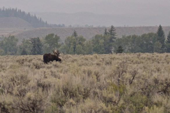 Bull Moose, Grand Teton