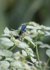 Great Black Wasp sips nectar from Pycnanthemum muticum