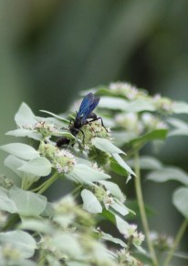 Great Black Wasp sips nectar from Pycnanthemum muticum