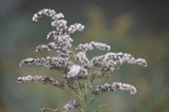 Letting the faded flowers of Goldenrod remain in the garden offers seasonal interest for both human observers and wildlife feeders.