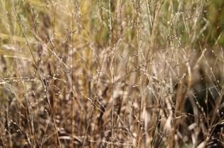 Seeds of Panicum virgatum.