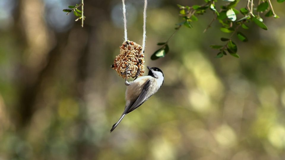 Carolina chickadee at birdseed ornament by The New Moon Workshop