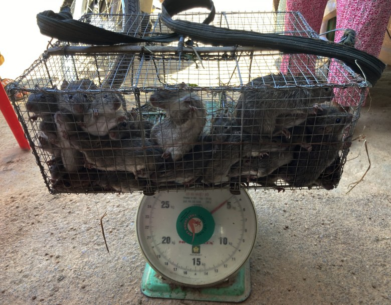 A fresh catch of rice field rats peer out of their cages as they are weighed in Takeo's Chambak Aem village.