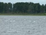 And many, many swans