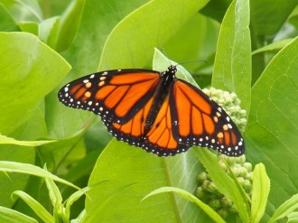 Monarch butterfly on its beloved milkweed