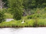 Swan nesting on island