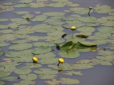 Yellow waterlilies