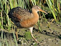 Endangered light-footed clapper rail
