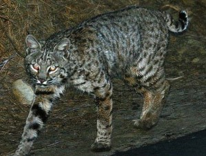 Bobcat recorded by motion-activated camera