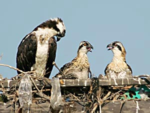 wildlife-birds-osprey-chicks