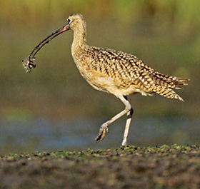 Long-billed curlew with crab in bill