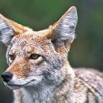 coyote970x440