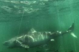 Chessie Tiger Shark
