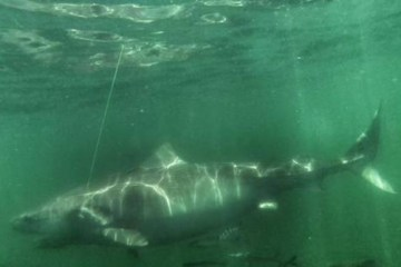 Chessie Tiger Shark