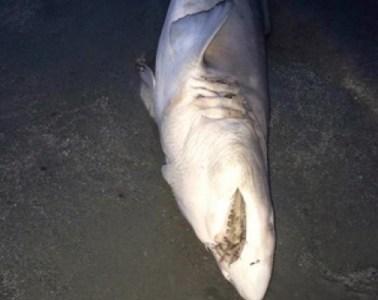 shark first beach newport
