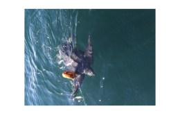 USCG Leatherback Turtle Rescue