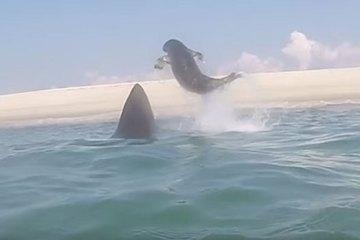 great white shark seal cape cod