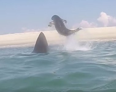 great white shark seal cape cod