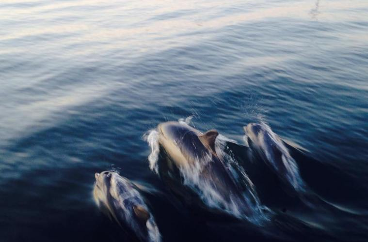 Dolphins Rose Island
