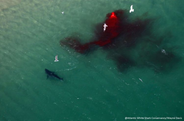 Photos) Great White Shark Attacks Seal Off Cape Cod – Newport Buzz
