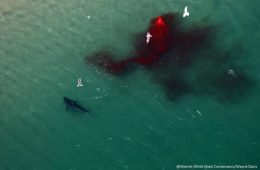 Great white shark Cape Cod