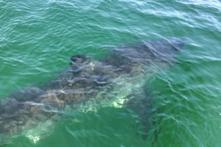 great white shark south beach cape cod