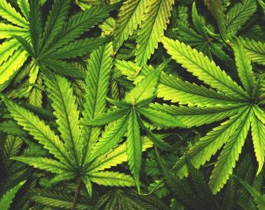 RI Legal Marijuana