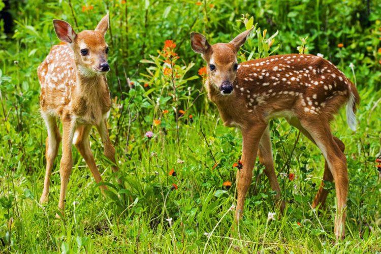 Deer Rhode Island