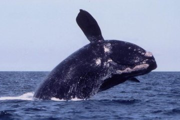 Right Whale Cape Cod