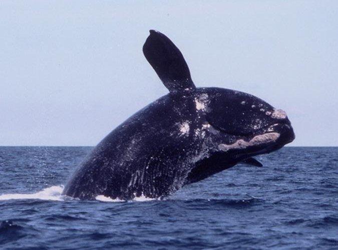 Right Whale Cape Cod