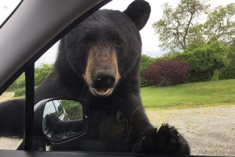 Black bear Narragansett