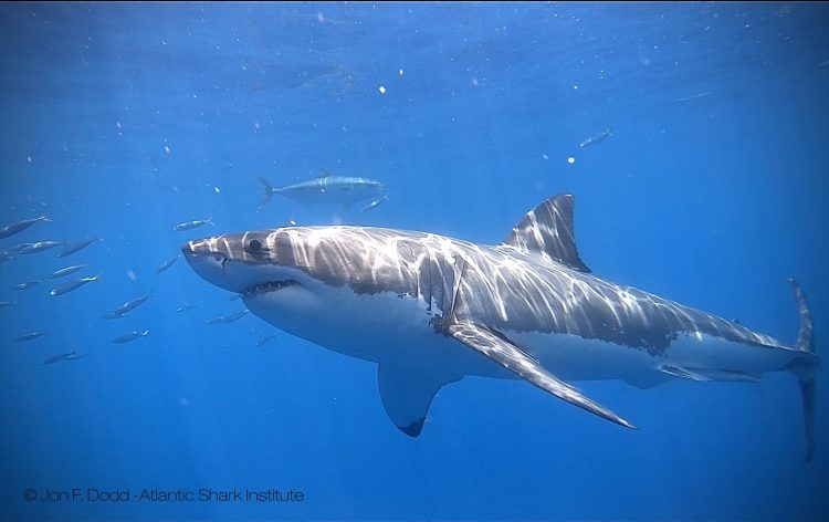 Two More Great White Sharks Detected In Rhode Island Waters | Newport Buzz